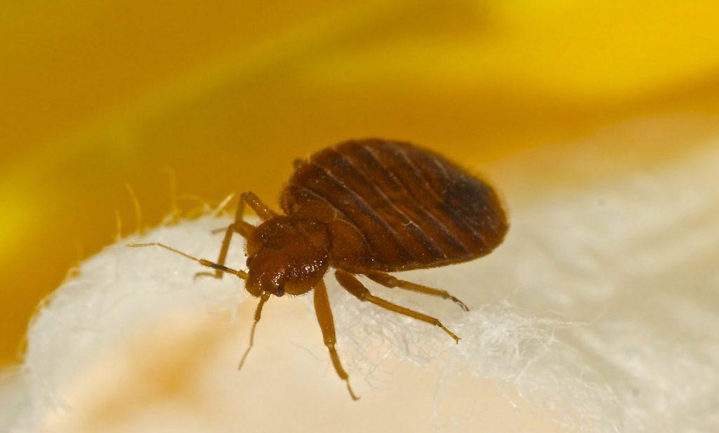 bedbug pest control local pest costa del sol