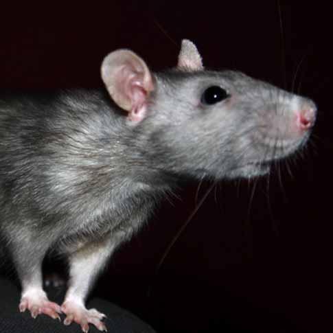 rat-pest-control-costa-del-sol-marbella-estepona